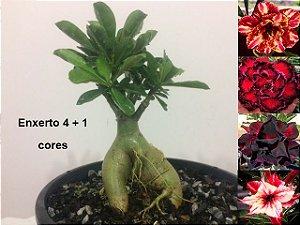 Planta com 4 + 1 cores. Enxerto com flores dobradas e sétima