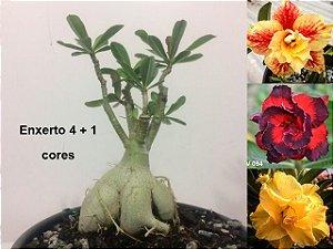 Planta com 4 + 1 cores. Enxerto com flores dobradas e triplas