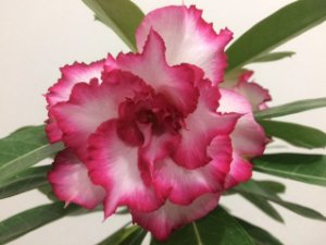 Enxerto de uma cor com flor tripla