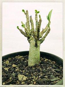Rosa do Deserto - Thai Socotranum