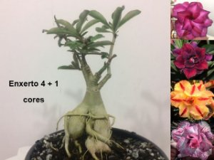Planta com 4 + 1 cores. Enxerto com flores dobradas e triplas.