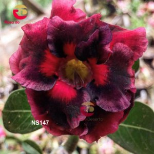 Enxerto de uma cor com flor Dobrada - NS147