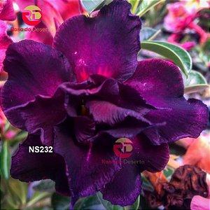 Enxerto de uma cor com flor Tripla - NS232 (Night Shadow)