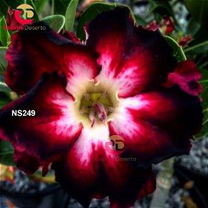Enxerto de uma cor com flor Dobrada - NS249 (Angels Kiss)