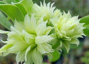 Enxerto de uma cor com flor Tripla - Green Elf