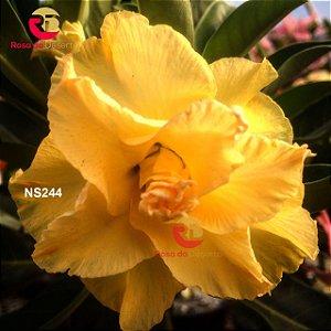 Enxerto de uma cor com flor Tripla - NS244 (Golden Dragon)