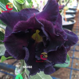 Enxerto de uma cor com flor Triplas - NS068 (Midnight)