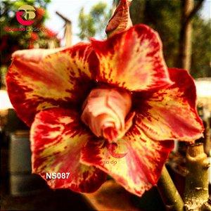 Enxerto de uma cor com flor Dobrada - NS087 (Ares)
