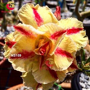 Enxerto de uma cor com flor Dobrada - NS159 (Winnie)