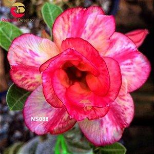 Enxerto de uma cor com flor Dobrada - NS088 (Rosy Star)