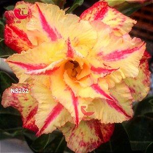 Enxerto de uma cor com flor Tripla - NS252 (Golden Diamond)