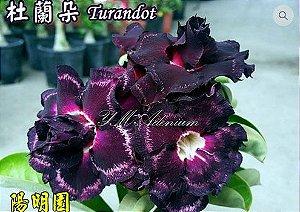 Enxerto de uma cor com flor Tripla - Turandot