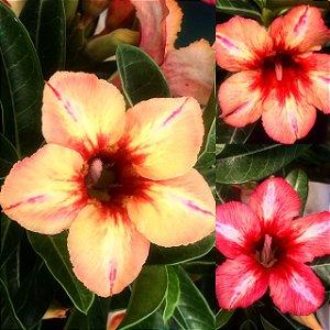 Enxerto Camaleão (muda de cor) com flor Simples - Sugar Maple