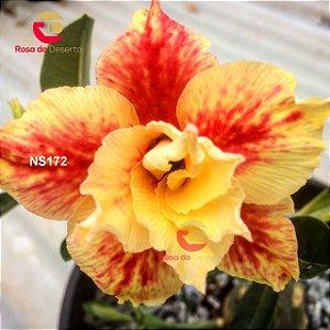 Enxerto de uma cor com flor Dobrada - NS172 (Legacy Rose)