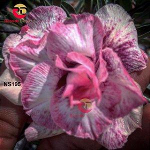 Enxerto de uma cor com flor Triplas - NS195 (Grape Milkshak)