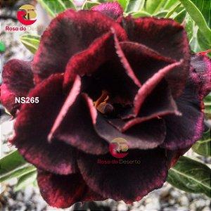 Enxerto de uma cor com flor Tripla - NS265 (Black Swan)