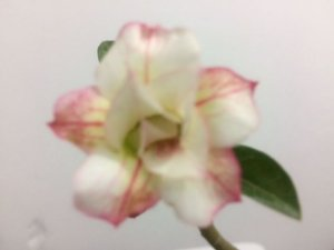 Enxerto de uma cor com flor Dobrada