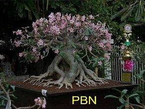 Adenium Thai Socotranum PBN - Kit com 5 sementes