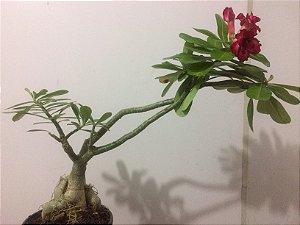 Planta adulta de Rosa do Deserto de enxerto com flor Tripla na cor Vermelha