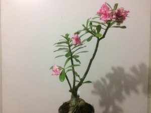 Planta adulta de Rosa do Deserto de enxerto com flor Tripla matizada