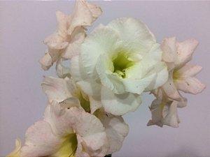 Muda Rosa do Deserto de semente com flor Dobrada