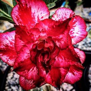 Enxerto Rosa do Deserto de uma cor com flor tripla - Samba Queen