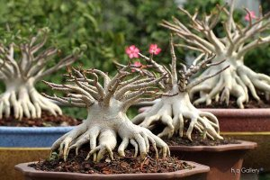 Adenium Thai Socotranum Diamond Crown 3 a 5% DHA - Kit com 10 sementes