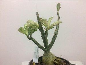 Planta adulta de Rosa do Deserto de semente variegada