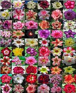 Kit com 100 sementes de cores de flor simples, dobradas e triplas da Rosa do Deserto