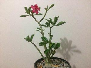 Planta adulta de Rosa do Deserto de semente de flor Dobrada na cor Rosa