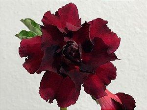 Enxerto Rosa do Deserto de uma cor com flor Tripla na cor Vermelha