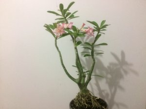Planta adulta de Rosa do Deserto de enxerto com flor Dobrada na cor Matizada