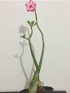 Planta adulta de Rosa do Deserto de semente com flor Dobrada na cor Branca Matizada