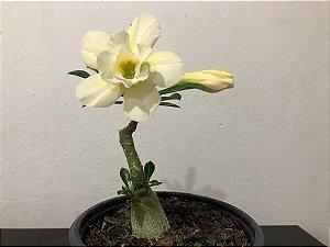 Enxerto Rosa do Deserto com flor dobrada amarelo creme