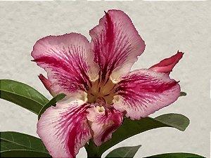 Enxerto Rosa do Deserto de uma cor com flor Simples na cor Matizada