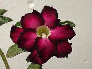 Enxerto Rosa do Deserto com flor dobrada roxa