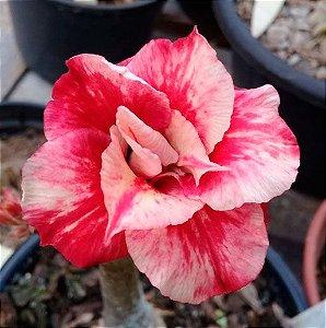 Enxerto Rosa do Deserto com flor dobrada - Julius Caesar