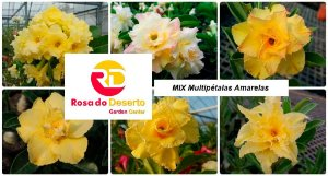 MIX com 50 sementes de flores dobradas e triplas amarelas - Rinoa Chen
