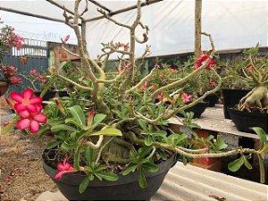 Planta adulta de Rosa do Deserto PENDENTE com flor simples na cor Rosa