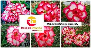 MIX com 5 sementes de flores dobradas e triplas matizadas bv - Rinoa Chen