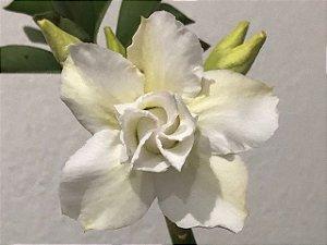 Enxerto Rosa do Deserto com flor dobrada na cor branco