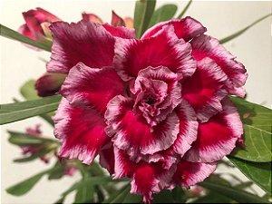 Planta adulta de Rosa do Deserto de enxerto com flor Quadrupla na cor Matizada