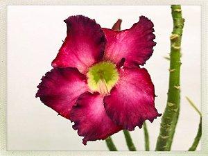 Muda Rosa do Deserto de semente com flor simples na cor Uva