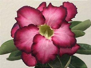 Enxerto Rosa do Deserto com flor dobrada na cor Uva