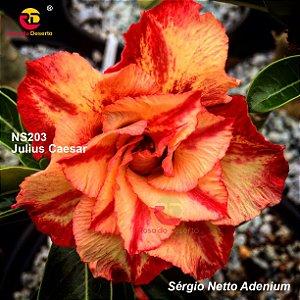 Enxerto Rosa do Deserto com flor tripla importada - Julius Caesar
