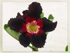 Muda Rosa do Deserto de semente com flor simples na cor Negra