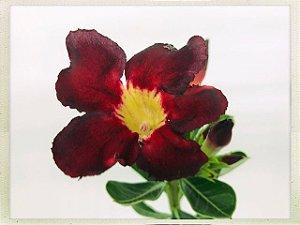 Muda Rosa do Deserto de semente com flor simples na cor Vermelho e Preto