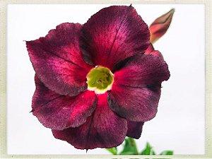 Muda Rosa do Deserto de semente com flor dobrada na cor Vinho e Vermelho