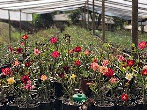 Kit com 30 mudas de Rosa do Deserto de sementes (SaiGon) com flores simples, dobradas e triplas. Cores variadas.