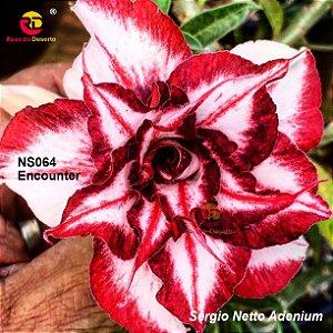 Enxerto de uma cor com flor tripla - NS064 (Encounter) - Importada